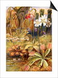 A Group of Carnivorous Plants  Illustration from 'Wonders of Land and Sea' by Graeme Williams