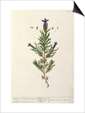 French Lavender  Plate 241 from 'A Curious Herbal'  published 1782