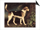 Ringwood  a Brocklesby Foxhound  1792