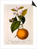 Sweet Orange: Citrus Sinensis Var Bigaradia Violacea  1836