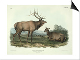 Cervus Canadensis (American Elk  Wapiti Deer)  Plate 62 from 'Quadrupeds of North America'