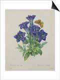Gentiana Acaulis (Trumpet Gentian)  Engraved by Langlois  from 'Choix Des Plus Belles Fleurs'  1827