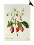 Fragaria (Strawberry)  Engraved by Chapuis  from 'Choix Des Plus Belles Fleurs'  1827-33
