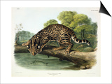 Felis Pardalis (Ocelot or Leopard-Cat)  Plate 86 from 'Quadrupeds of North America'  Engraved by