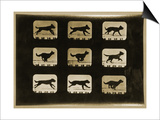 Dogs Running  from the 'Animal Locomotion' Series  C1881