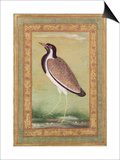 Indian Lapwing  C1800