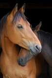 Head Shot of Horse and Pony Hugging on Dark B/G