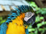 Ruffled Macaw Parrot