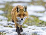 Fox Walking towards Me