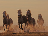 Camargue Horses Running through Water at Dusk