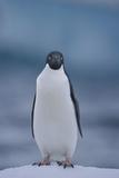 Adelie Penguin on Ice