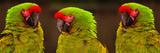 Military MacawsAra Militaris