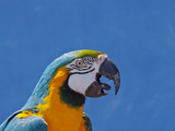 Call of Macaw