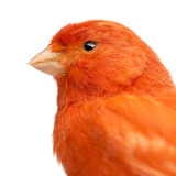Close-Up of a Red Canary  Serinus Canaria
