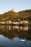 Swan Swims on Moselle River