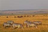 Burchell's Zebras and Wildebeest Herd at Sunrise