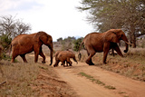 Family of Elephants Cross over a Dirt Track