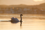 Mute Swan Displaying on Bavarian Lake