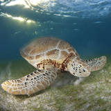 Green Sea Turtle Papier Photo par Luis Javier Sandoval