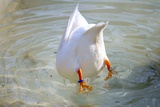 Swan Diving into Water