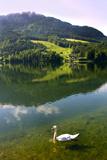 Swan on Lake Grundlsee  Steiermark  Austria  July 2010