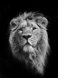 The King (Asiatic Lion) Reproduction d'art par Stephen Bridson Photography