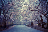 Cherry Blossoms Trees