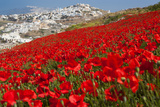 Red Poppies in Bloom above Pirgos  Santorini