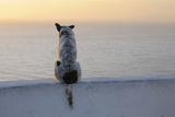Dog  Oia  Santorini Island  Cyclades Islands  Greek Islands  Greece