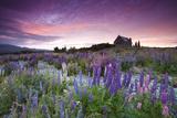 Summer Lupins at Sunrise at Lake Tekapo, NZ Papier Photo par Atan Chua