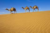 Camels Walking on Sand Dunes