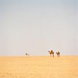Group of Camels  Sahara Desert  Libya