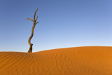 Africa  Namibia  Dead Tree by Sand Dune