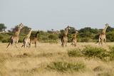 Giraffe Herd  Botswana