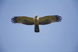 Crested Honey Buzzard in Flight