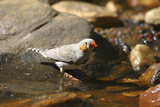Zebra Finch Male  by Drinking Pool