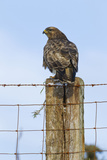 Common Buzzard on Fence Post