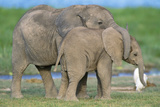 African Elephant Two Calves Playing