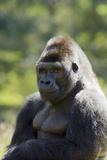 Western Lowland Gorilla Silverback Male