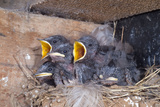 Young Swallows on the Nest