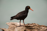 Sooty Oystercatcher an Uncommon Marine Species