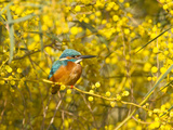 Common Kingfisher Perched in Yellow Flowering