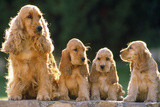 Cocker Spaniel Dogs  Adult and Puppies Sitting in a Row