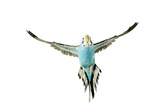 Budgerigar in Flight