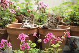 Kittens in Flowerpots with Geraniums