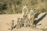 Meerkat Mother and Nursemaid with Baby Kittens