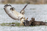 Common Buzzard Two Fighting over Food in Winter
