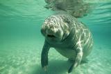 West Indian  Florida Manatee Underwater