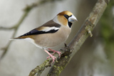 Hawfinch Male in Garden Searching for Food in Winter