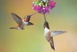 Rufous Hummingbird Two Males Feeding at Flower